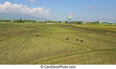 Drone Flies over Buffalo Herd on Harvested Rice Field by Road