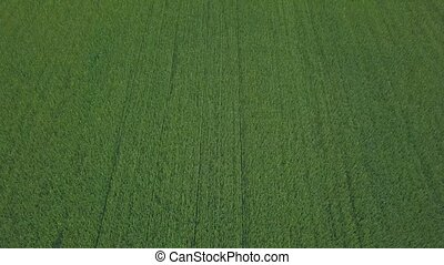 Drone flight over a field of rapeseed