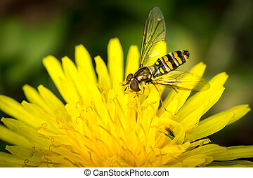 Drone fly over yellow flower (Eristalis tenax)