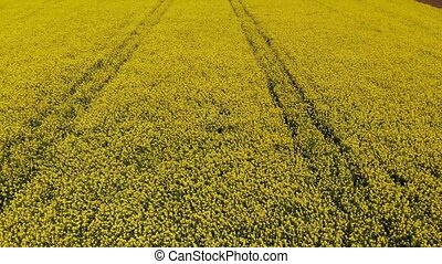 Drone flying across yellow oilseed or rape field in the...