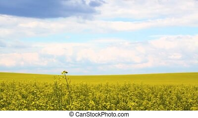 drone flying in the yellow rapeseed field. - quadrocopter...