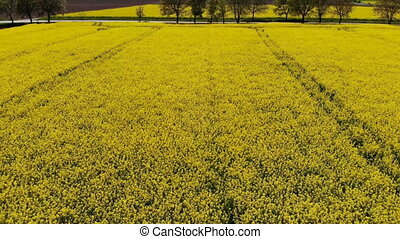 Drone flying to the road above beautiful rape field (canola...
