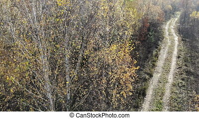 drone getting down in autumn yellow forest near rural road, on the woods, fly over yellow, aerial shot
