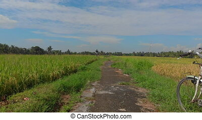 Drone is moving over a path in the middle of a big rice field then it flies up and reveals the whole filed. Rice crops concept. Travell to southeast Asia concept
