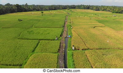 Drone is moving over a path in the middle of a big rice...