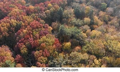 Drone perspective of a dense deciduous forest in Ukraine, in full fall colors. 4k Ultra HD video