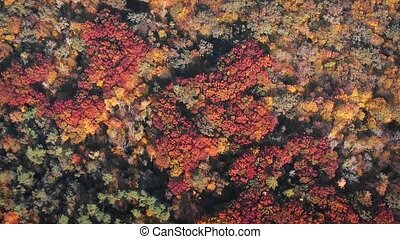 Stationary drone perspective of a Ukrainian forest in full autumn colors of red, orange and yellow. FullHD video