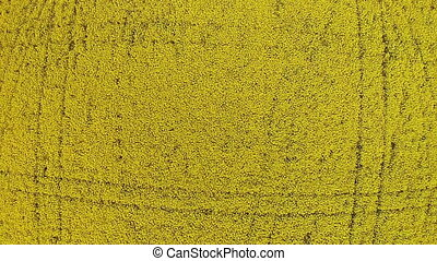 Drone rises into the sky over the yellow field with rapeseed