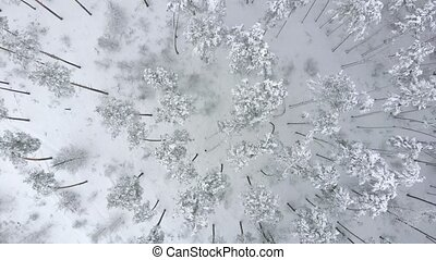 Drone whirls over snow-covered winter pine forest.