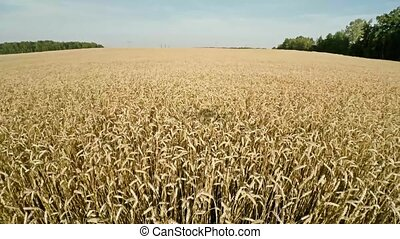 Drones work in agriculture. Field of agricultural cereals....