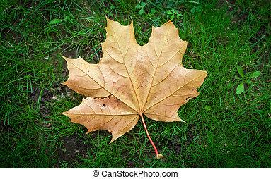 droog, blad, herfst, grass., groene, esdoorn