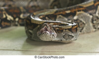 Drooling Boa Constrictor, Costa Rica, - Extreme close-up...