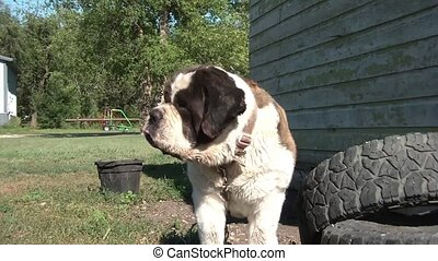 Drooling St. Bernard Dog in Sun - Beautiful large saint...