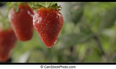 Drop of water dripping from a large ripe red strawberry on...