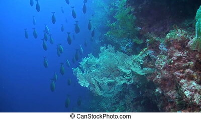 Drop off on a coral reef with a school Unicornfish and colorful sea fans