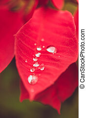 Drop on the leaf, Water from raining season on red christmas plant
