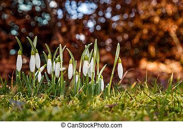 drop snowdrops in the meadow