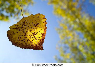 Droping leaf in autumn