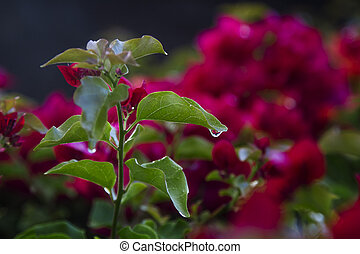 one small droplet hanging for the leaf of a red flower