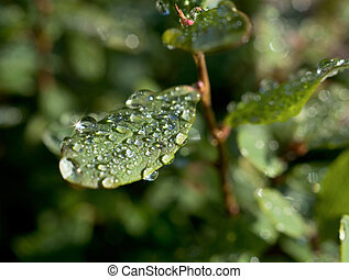 Droplets of dew on leaves of great bilberry - Droplets of ...