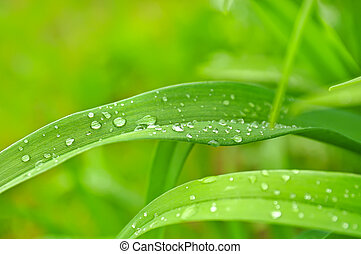 Droplets of dew on the grass - Droplets of dew on the green ...