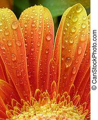droplets on gerbera