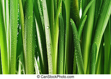 Droplets on green leaves - Droplets of dew on fresh green ...