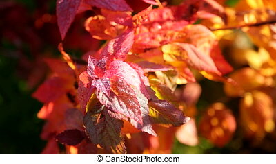 Droplets on red leaves - Clear droplets of water on red fall...