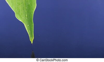 Dropping drops of water from a green leaf into the blue water.