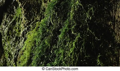 Drops dripping on moss in a cave