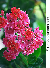 Drops in the Pink kalanchoe flowers - Pink flowering...