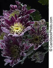 drops of dew on a chrysanthemum
