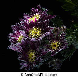 drops of dew on a chrysanthemum