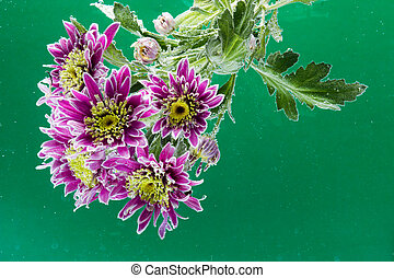 drops of dew on a chrysanthemum - beautiful bright...