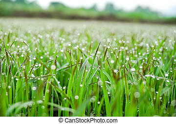 drops of dew on a green grass (background)
