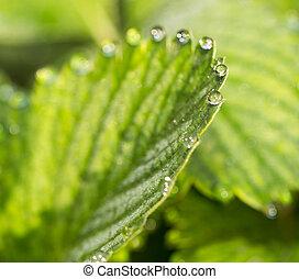 drops of dew on a green leaf strawberries. macro