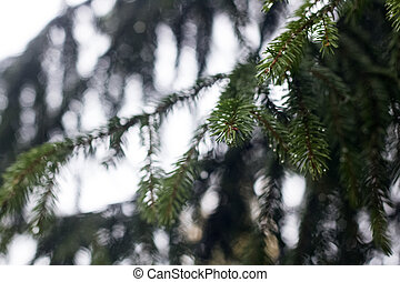 Drops of dew on the branches of spruce