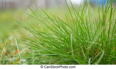 drops of dew on the grass lawn green landscape nature -...