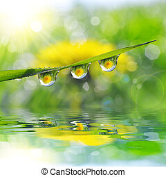 drops of dew on the green grass - Dandelion in the drops of...