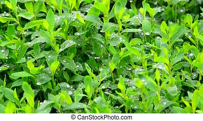 Drops of water after a rain on green leaves knot-grass -...