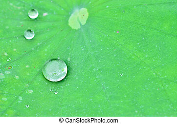 Drops of water on a lotus leaf