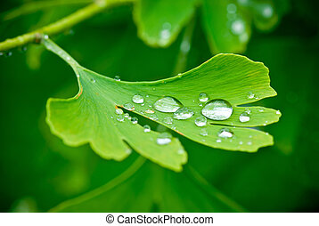 drops of water on the leav of ginkgo