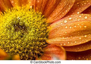 Drops on orange flower