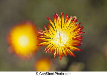 Drosanthemum bicolor succulent plant flowering