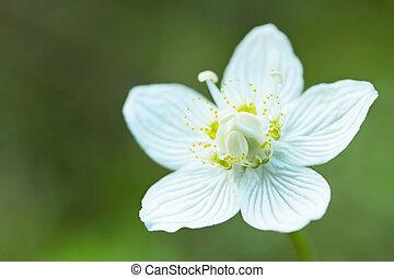 Drosera rotundifolia/ white flower by the closeup