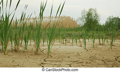 Very drought wetland, swamp and pond drying up the soil cracked crust earth climate change, environmental disaster and earth cracks very, death for plants and animals, soil dry degradation, lack of water, desertification disaster crack, reed common broadleaf cattail common, cattail bulrush or great ...