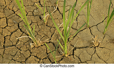 Drought cracked pond wetland, swamp very drying up the soil crust earth climate change, environmental disaster and earth cracks very, death for plants and animals, soil dry degradation