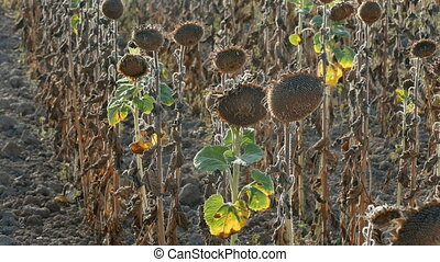 Drought in a sunflowers field, - Natural disaster, drought...