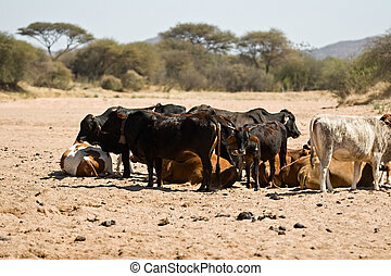 drought - Intensive drought, Kalahari area, cattle...