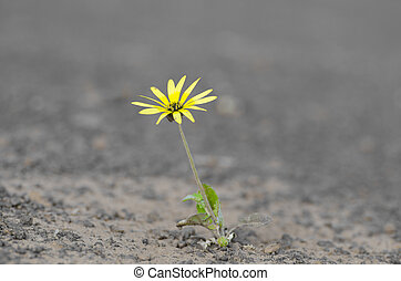 Single yellow flower surviving drought on arid barren soil in agricultural countryside, isolated with blurred background and copy space.